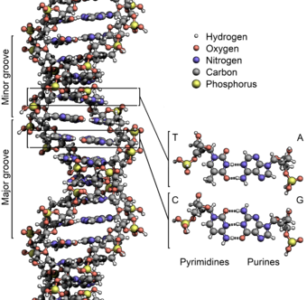 File:340px-DNA Structure Key Labelled.pn NoBB.png