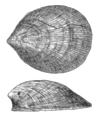 File:Monoplacophora.jpg