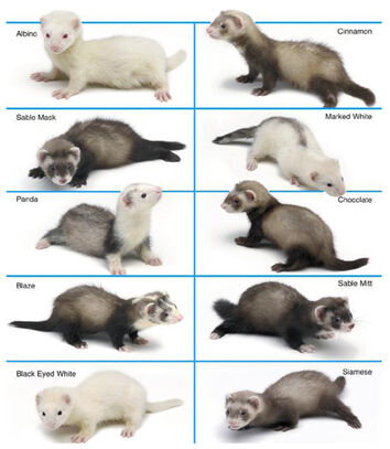 FerretColor Chart copy