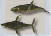 Ichthyosepia scombrus