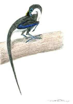 Caerulatusaurusdobbsi