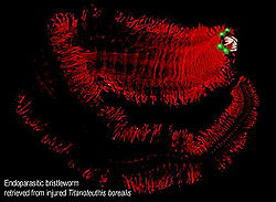 File:Bdrh-lavalampworm.jpg
