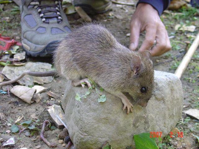 File:43-Rattus everetti (Larry Heaney).JPG