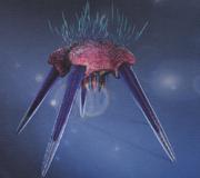 Neocidaris Bruceleei