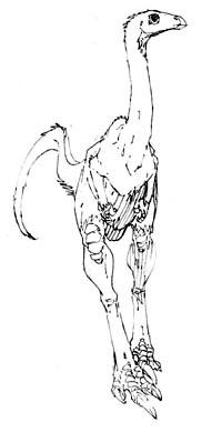 Dracorhea