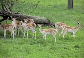 File:Fallow deer -3.jpg
