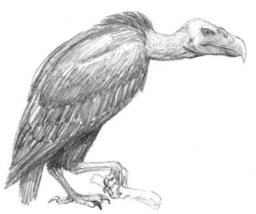Vulturoc