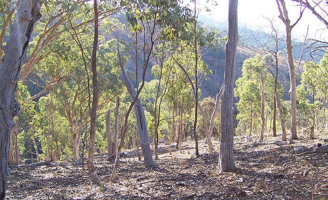 File:Eucalyptus forest.jpg