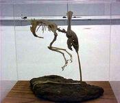 Otopteryx skeleton