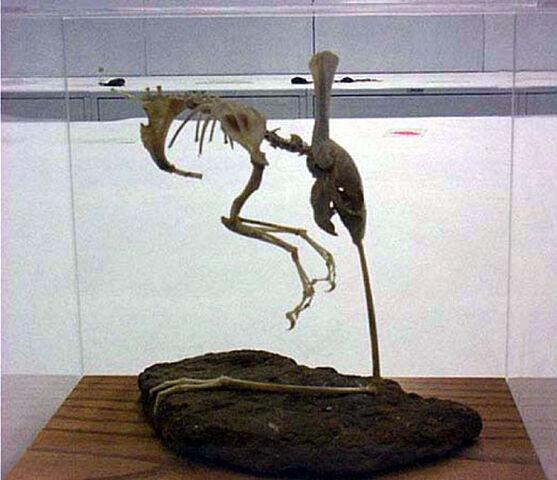 File:Otopteryx skeleton.JPG