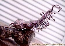 Rhinochilopus