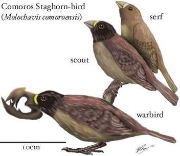 Comoros staghorn-bird
