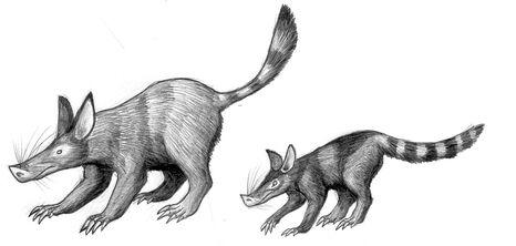 Pigshrews