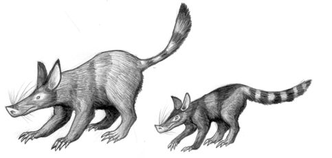 Pigshrews