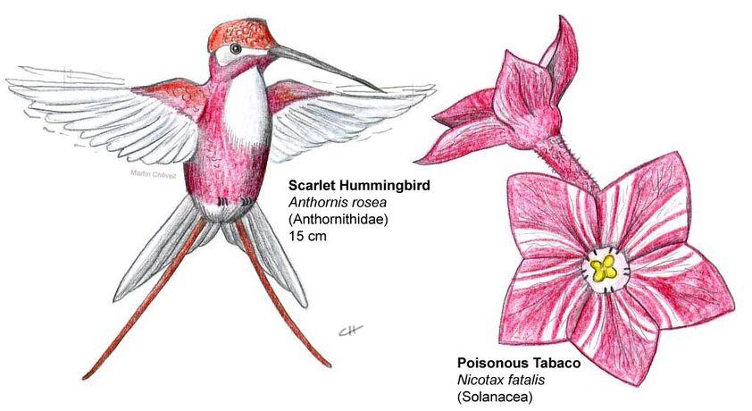 Scarlet hummingbird
