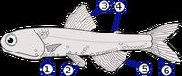 Fins (Lampanyctodes hectoris)