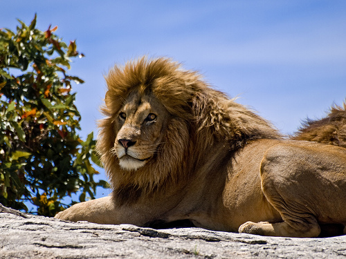 File:Male Lion on Rock.jpg