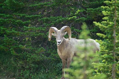 File:Bighorn ram.jpg
