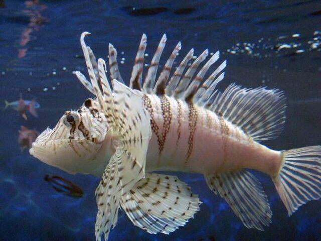 File:LunaLionfishReal.jpg