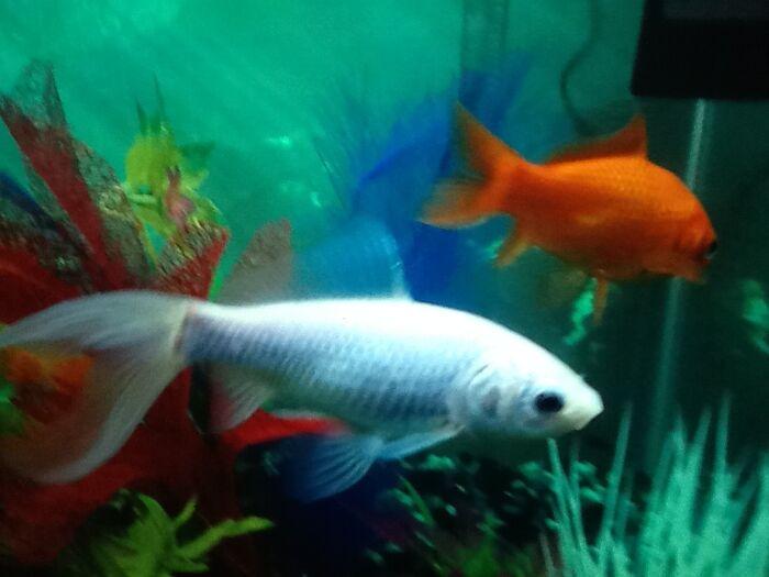 Mewados' goldfish
