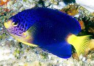 BlueMauritiusPygmyAngelfishReal