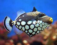 ClownTriggerfishReal