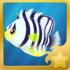Barred Angelfish§Headericon