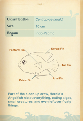 Herald's Angelfish§Aquapedia2