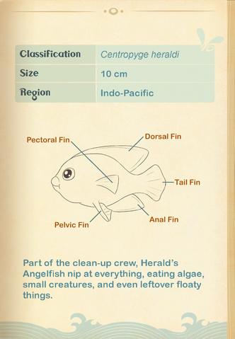 File:Herald's Angelfish§Aquapedia2.png