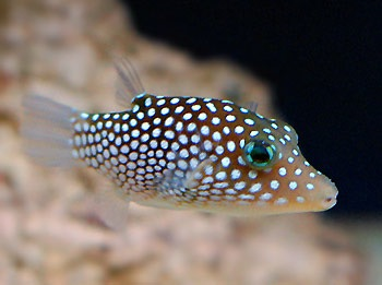 File:White-spottedPufferfish.jpg