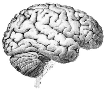 PSM V46 D167 Outer surface of the human brain