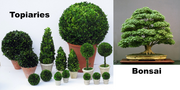Topiarycomparisontobonsai
