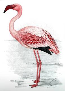 The Lesser Flamingo