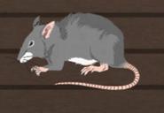 Unusually large rat