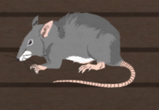 File:Unusually large rat.png