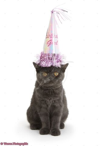 File:18227-Grey-kitten-wearing-a-party-hat-white-background.jpg