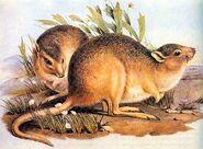 Kangoeroerat