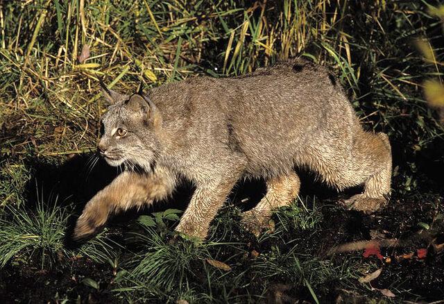 Bestand:Lynx.jpg