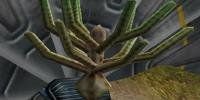 Eucalymus