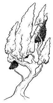 Kaha tree