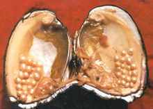 Oysterwithpearls