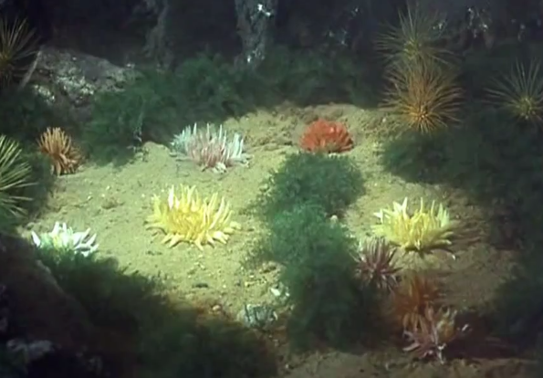 File:Anemones.PNG