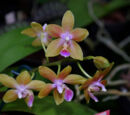 Phalaenopsis Kuntrarti Rarashati