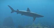 Blacktip Reef Shark-0