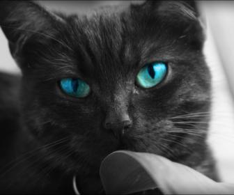 File:Black cats blue eyes animals desktop 968x648 hd-wallpaper-811986.png