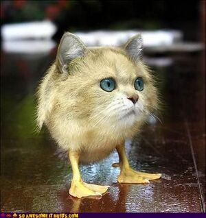 Is-this-a-dupe-cat-duck