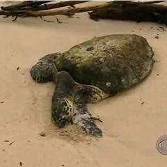 The dead sea turtle.