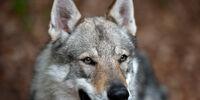 Wolf-Dog (term)