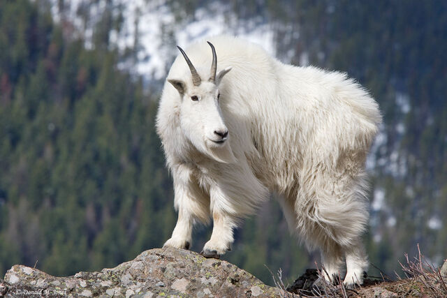 File:Mountain Goat.jpg