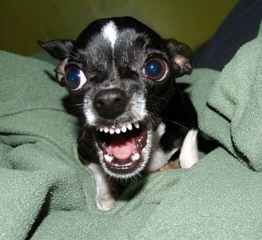 File:655px-Killer Chihuahua.jpg